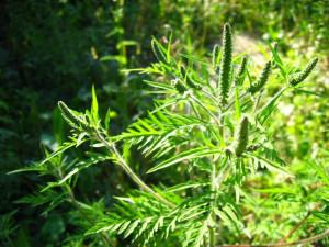 Ambrozija – invazivni alergen koji nam smeta ljeti!